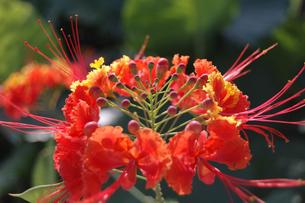 南国沖縄のオオゴチョウの花の写真素材 [FYI02991106]
