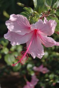 ピンクの可愛いハイビスカスの花の写真素材 [FYI02991108]