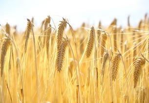 収穫期のビール麦の写真素材 [FYI02991202]