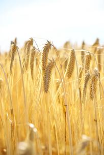 収穫期のビール麦の写真素材 [FYI02991205]