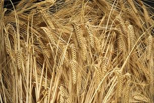 ビール麦の写真素材 [FYI02991232]