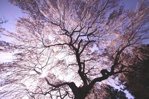春爛漫の大和の桜の地の写真素材 [FYI02991287]
