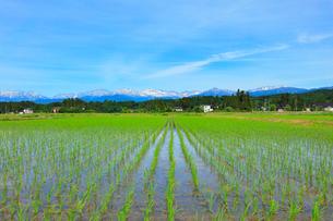 富山平野の水田と立山連峰の写真素材 [FYI02991412]