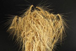 ビール麦の写真素材 [FYI02991469]