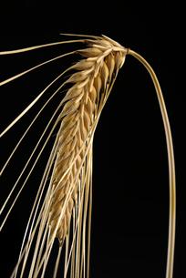 ビール麦の写真素材 [FYI02991481]