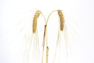 大麦の写真素材 [FYI02991488]