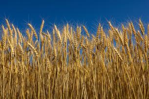小麦畑の写真素材 [FYI02991502]