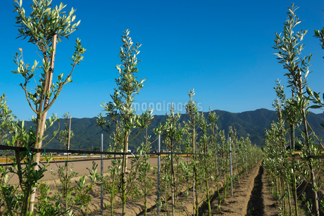 耳納連山を背景にオリーブ栽培の写真素材 [FYI02991556]