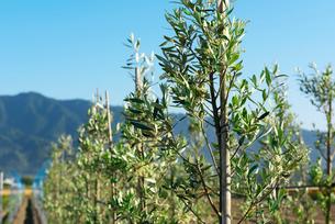 耳納連山を背景にオリーブ畑の写真素材 [FYI02991560]