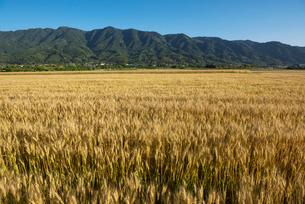 耳納連山を背景に麦畑の写真素材 [FYI02991563]