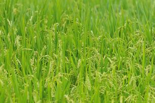 稲作の写真素材 [FYI02991594]
