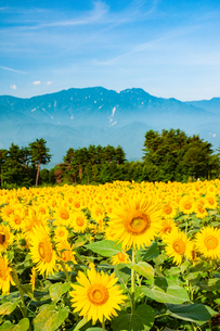 ヒマワリ花畑と南アルプスの山並みの写真素材 [FYI02991681]