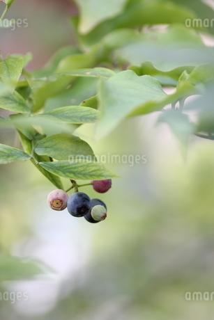 ブルーベリーの栽培の写真素材 [FYI02991829]