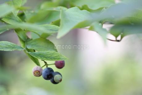 ブルーベリーの栽培の写真素材 [FYI02991830]