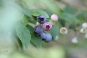 ブルーベリーの栽培の写真素材 [FYI02991831]