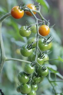 ミニトマトの栽培の写真素材 [FYI02991832]