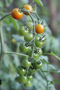 ミニトマトの栽培の写真素材 [FYI02991833]