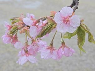 八王子市の河津桜の写真素材 [FYI02991853]