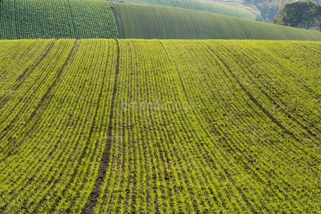 夕陽を反射する秋まき小麦の畑の写真素材 [FYI02991863]