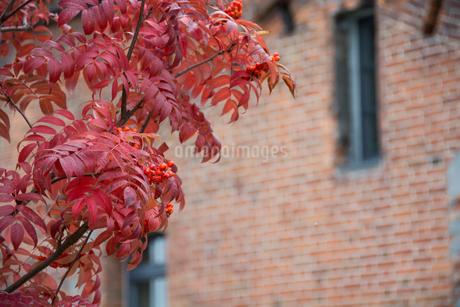 赤く色づいたナナカマドの写真素材 [FYI02991868]