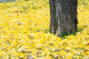イチョウの落ち葉の写真素材 [FYI02991871]