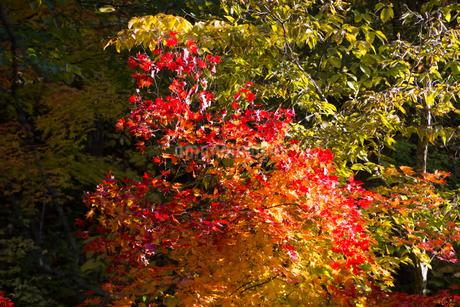 赤く色づいた紅葉の写真素材 [FYI02991882]