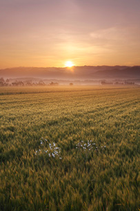 麦畑と日の出の写真素材 [FYI02992006]
