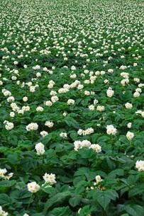 ジャガイモの花の写真素材 [FYI02992024]