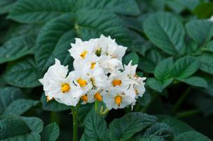 ジャガイモの花の写真素材 [FYI02992027]