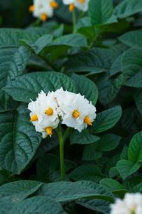 ジャガイモの花の写真素材 [FYI02992031]