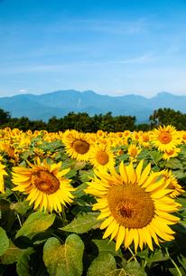 ヒマワリ花畑と南アルプスの山並みの写真素材 [FYI02992082]