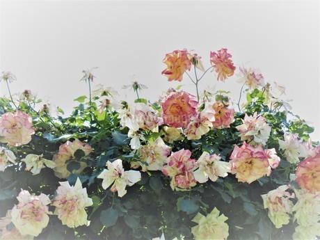 ピンクのバラ園の写真素材 [FYI02992103]