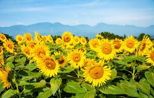 ヒマワリ花畑と南アルプスの山並みの写真素材 [FYI02992119]