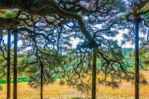 栗林公園の松(箱松・屏風松)の写真素材 [FYI02992121]