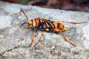 葉の上で休むスズメバチに似るトラフカミキリ の写真素材 [FYI02992313]