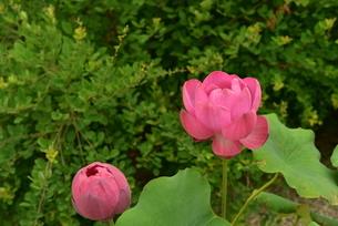 蓮の花の写真素材 [FYI02992374]