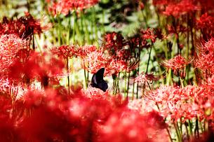 曼珠沙華と蝶の写真素材 [FYI02992471]