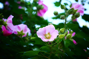 秋まで咲くフヨウの花の写真素材 [FYI02992497]