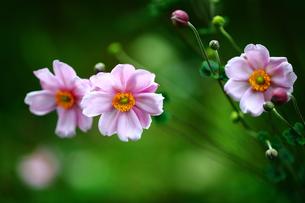 シュウメイギクの花の写真素材 [FYI02992507]