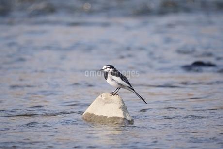 川中の石の上に佇むハクセキレイの写真素材 [FYI02992517]