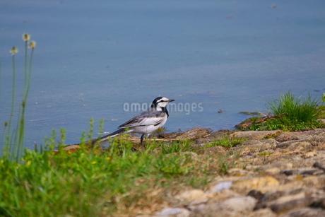 岸辺のハクセキレイの写真素材 [FYI02992560]