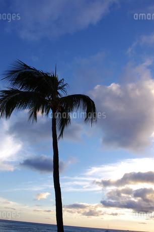 ハワイのヤシの木の写真素材 [FYI02992632]