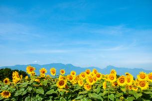 明野ヒマワリと南アルプスの山並みの写真素材 [FYI02992873]