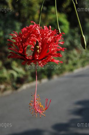 南国沖縄の赤いハイビスカスの写真素材 [FYI02992885]