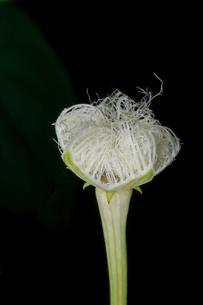 夜になって少しづつ花を開こうとするカラスウリの写真素材 [FYI02992894]