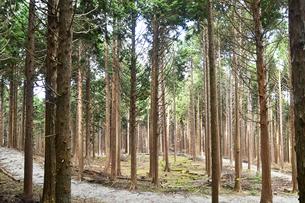 良く手入れされた杉林の写真素材 [FYI02992970]