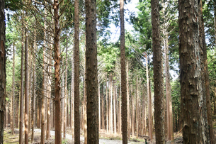 良く手入れされた杉林の写真素材 [FYI02992971]