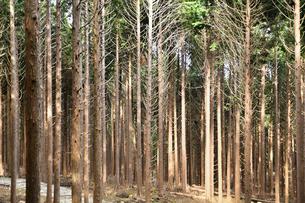 良く手入れされた杉林の写真素材 [FYI02992972]