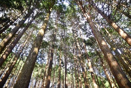 良く手入れされた杉林の写真素材 [FYI02992973]