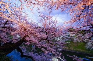千鳥ヶ淵の桜ライトアップの写真素材 [FYI02992976]
